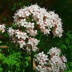 Valeriana_officinalis