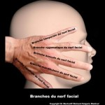 branches du nerf facial