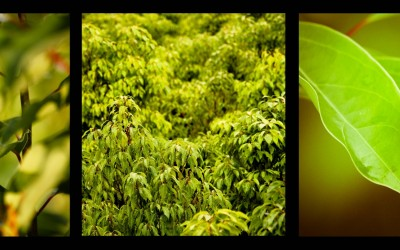 A la Une en novembre : L'huile essentielle de Ravintsara, une histoire de biotope…